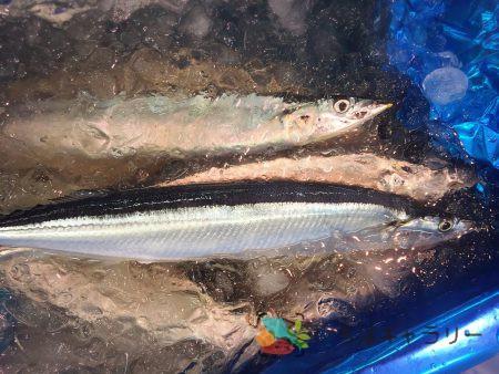 秋刀魚5のフリー素材(市場の写真)