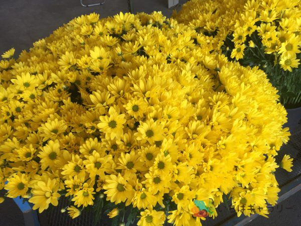 菊のフリー素材(市場の写真)
